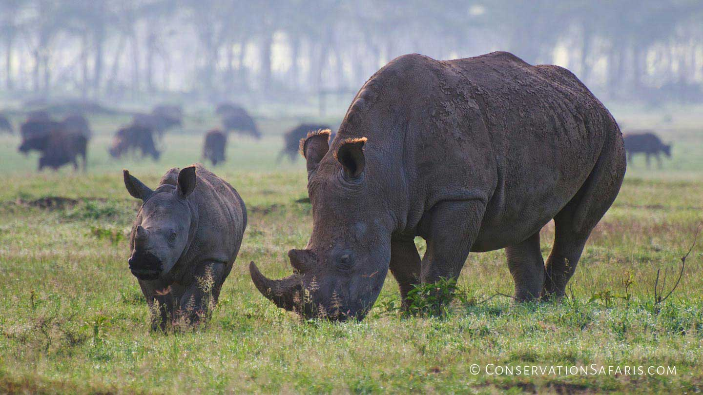 African Rhino mother & calf in Kenya