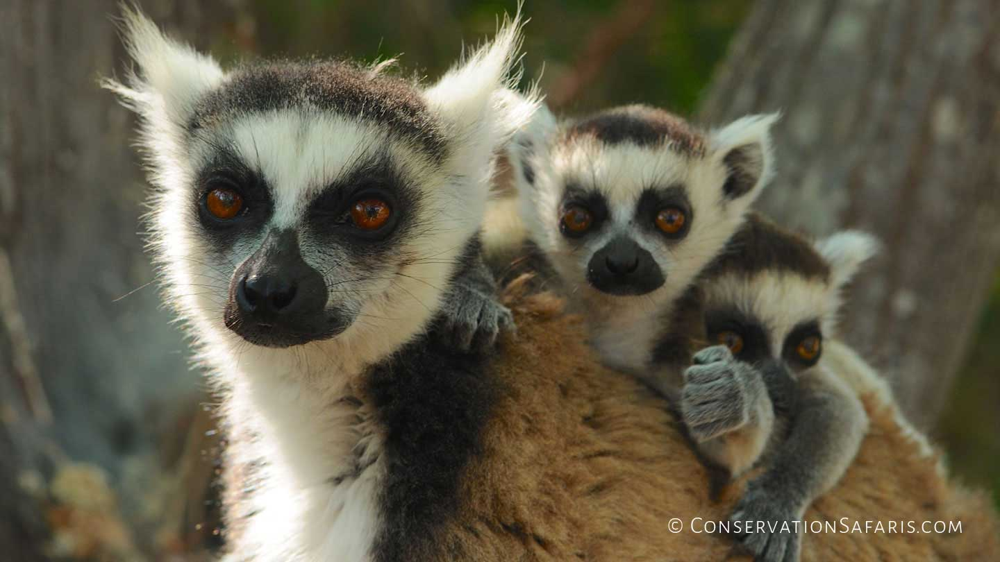 Ring-tail Lemur with babies in Anja Reserve, Madagascar