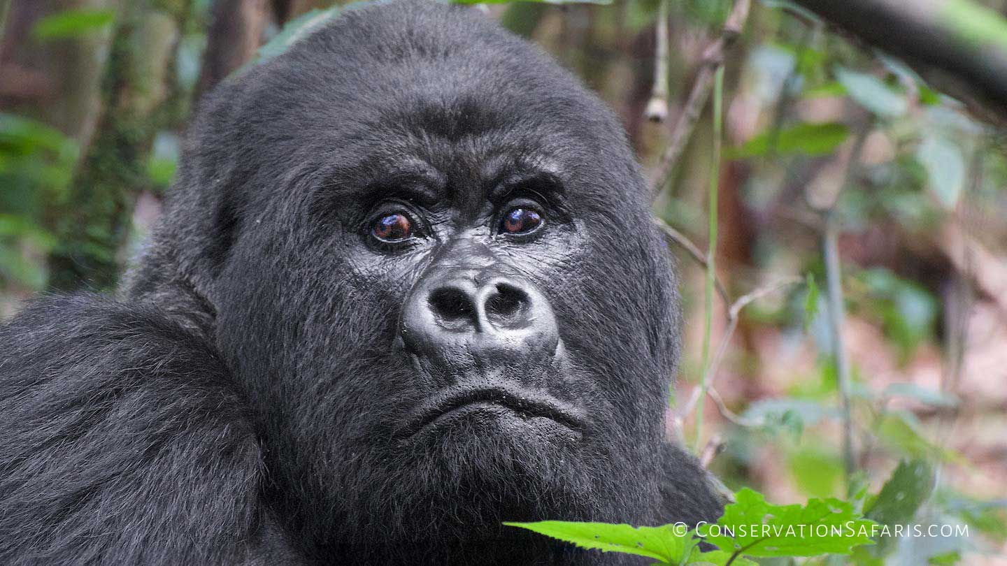 Silver-back Mountain Gorilla