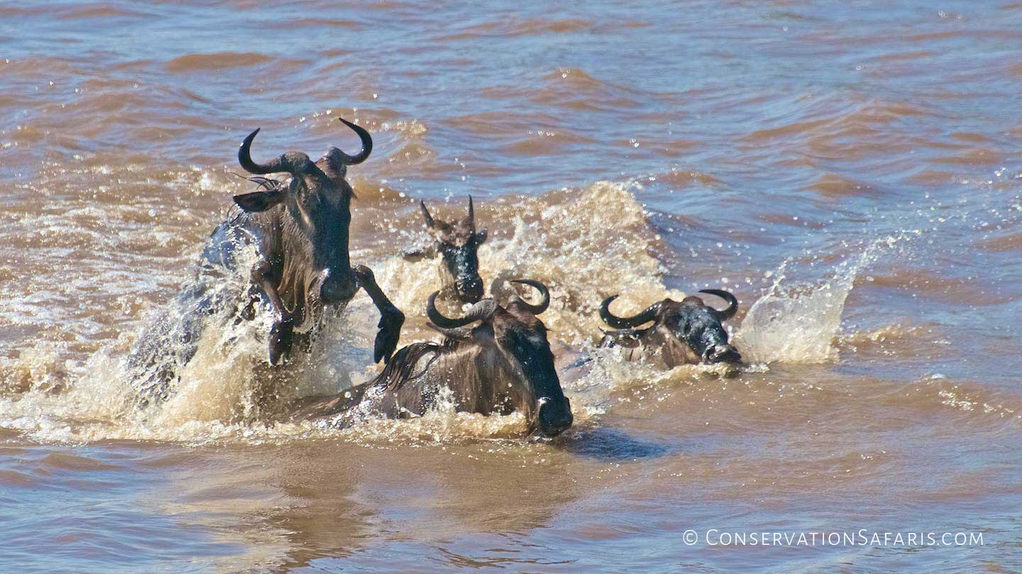 The Great Migration river crossings in Masai Mara, Kenya