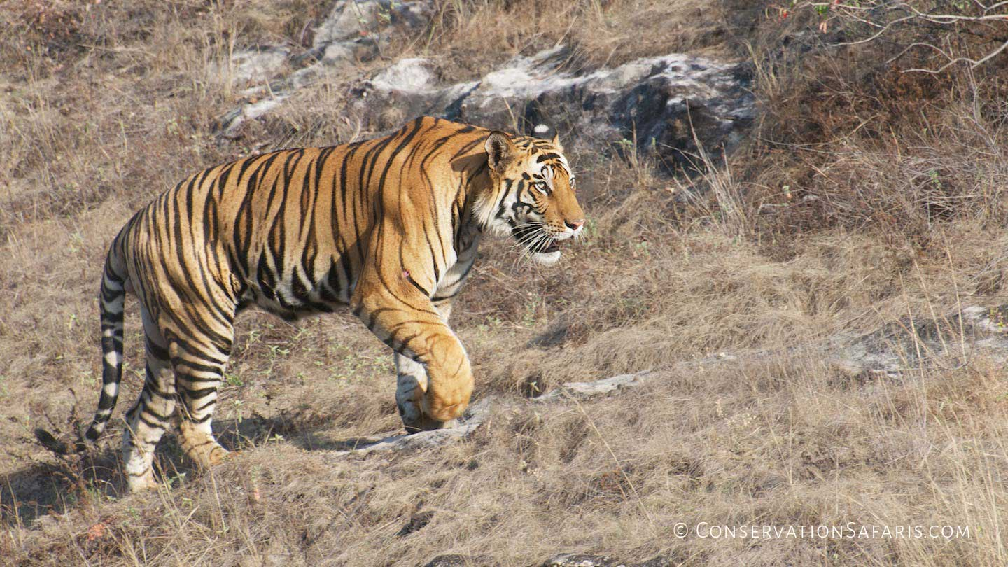 Indian Tiger in Bandhavgarh