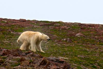 Canadian Wildlife Travel - Churchill & Polar Bears