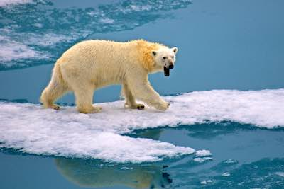 Svalbard cruise - polar bears