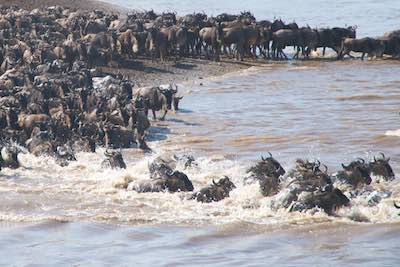 Wildebeest Migration River crossing in the Masa Mara
